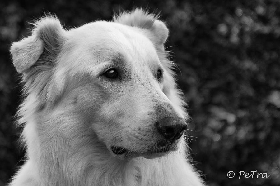 Bento - mein weißer Schäferhund