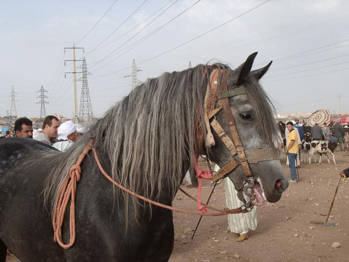 Berber (-pferd)