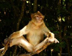 Berberaffe bei seiner Yoga Übung