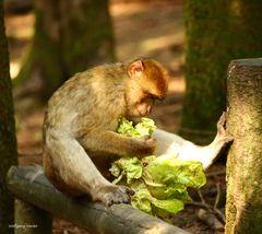 Berberaffe beim Salat anrichten
