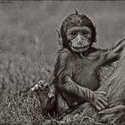 Berberaffenbaby