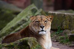 Berberlöwin im Zoo Hannover