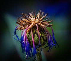 berg-flockenblume