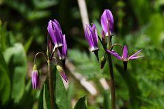 Berg-Götterblume, Darkthroat Shootingstar (Dodecatheon pulchellum var. montanum)