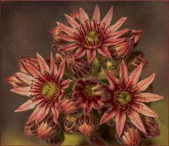Berg Hauswurz Blüte - Sempervivum montanum