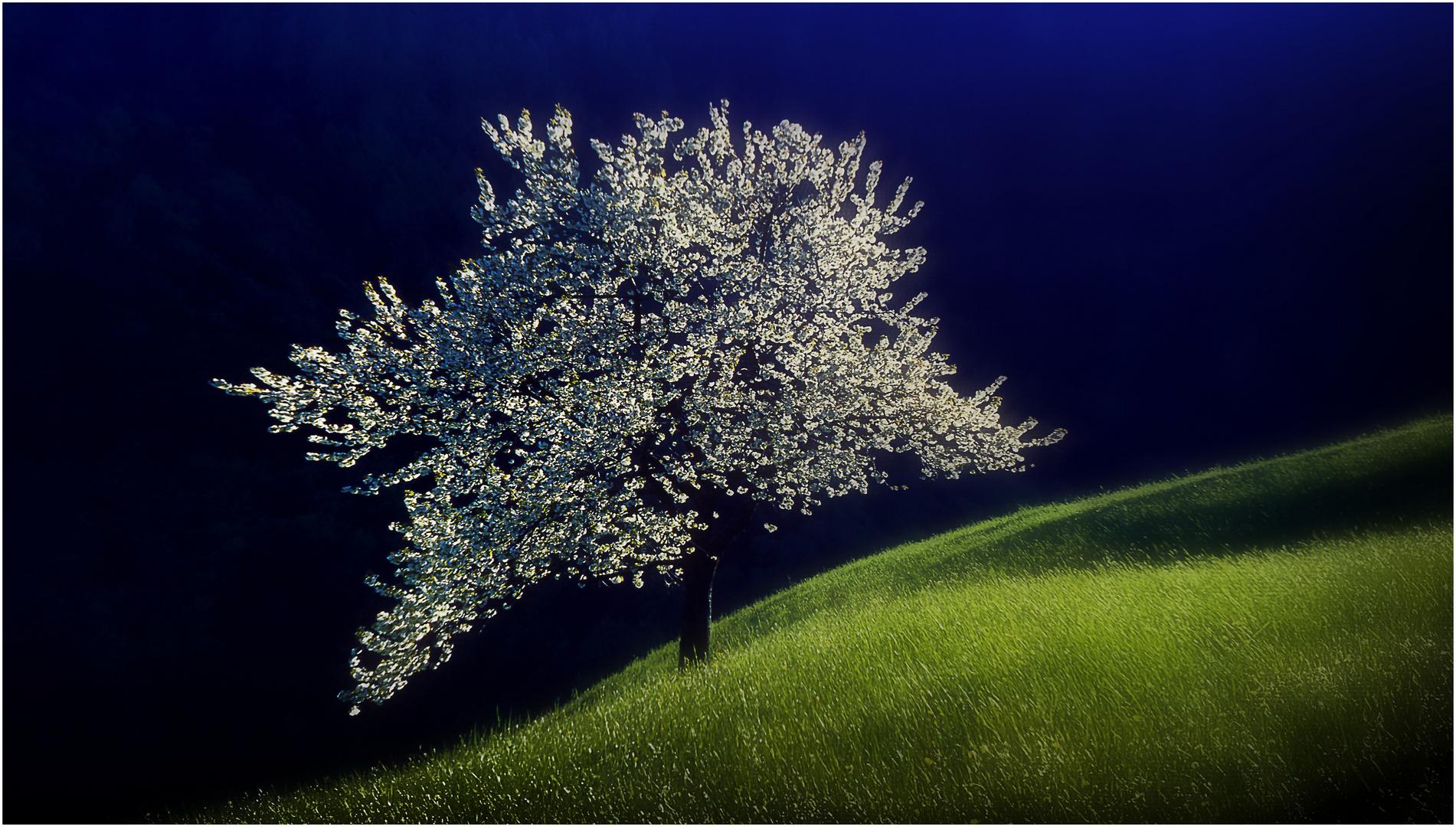 Berg-Kirschblüte  P