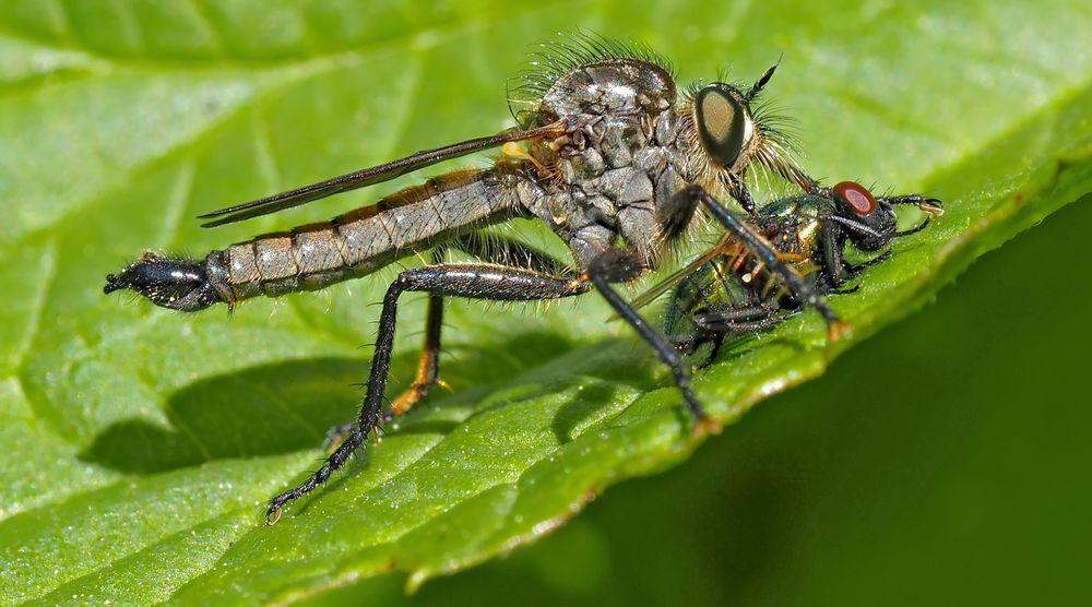 Berg-Raubfliege (Didysmachus picipes), Männchen *  -  La mouche prédatrice a trouvé une victime!