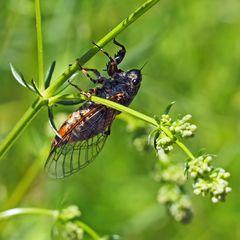 Berg-Singzikade, ein Weibchen (Cicadetta montana), * streng geschützt!