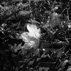 Bergahorn Herbst