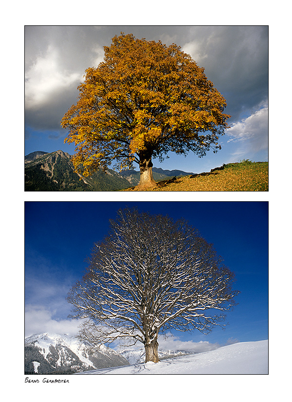 Bergahorn Herbst und  Winter