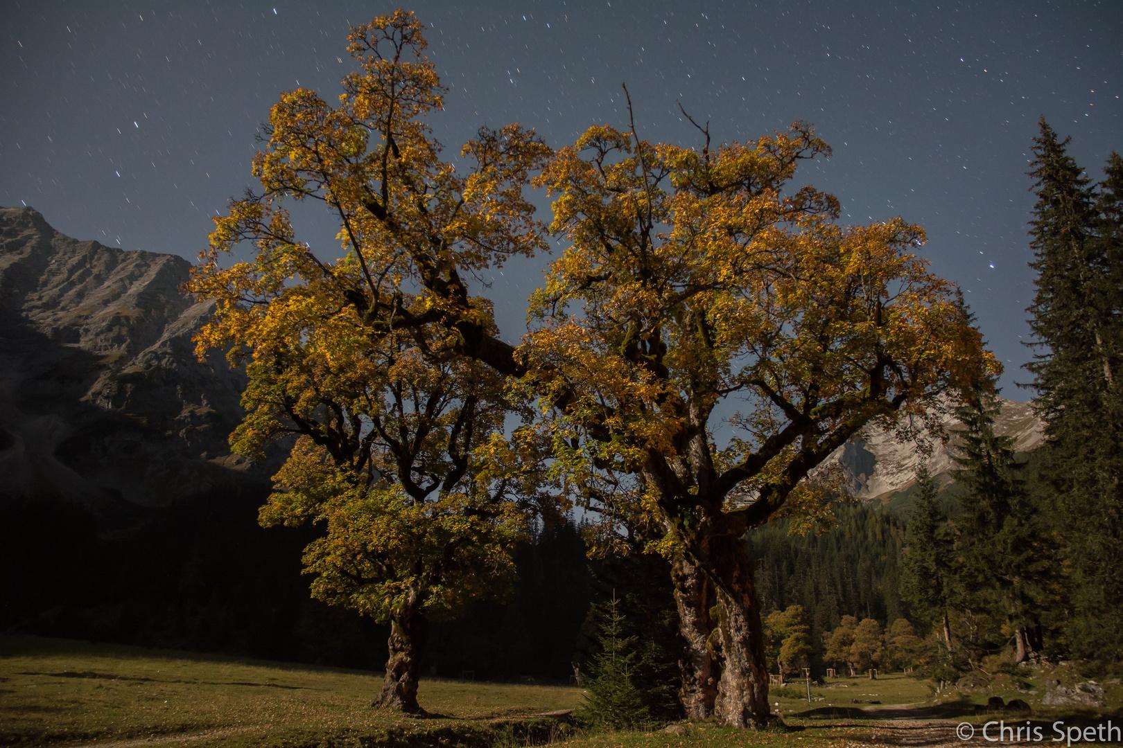 Bergahorn im Mondlicht