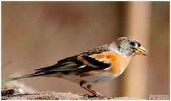 - Bergfink - ( Fringilla montifringila )