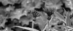 Bergflockenblumen