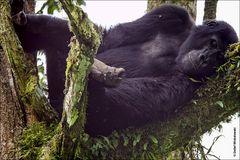 Berggorillas in Uganda [1]