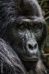 Berggorillas in Uganda [2]