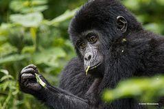 Berggorillas in Uganda [3]