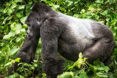 Berggorillas in Uganda [4]