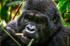 Berggorillas in Uganda [5]