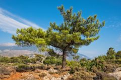 Bergkiefer auf Kreta