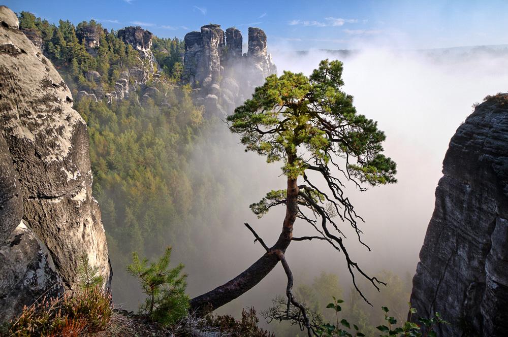 Bergkiefer im Morgennebel (3)
