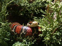 Bergkönigsnatter (Lampropeltis pyromelana)