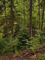 Bergregenwald
