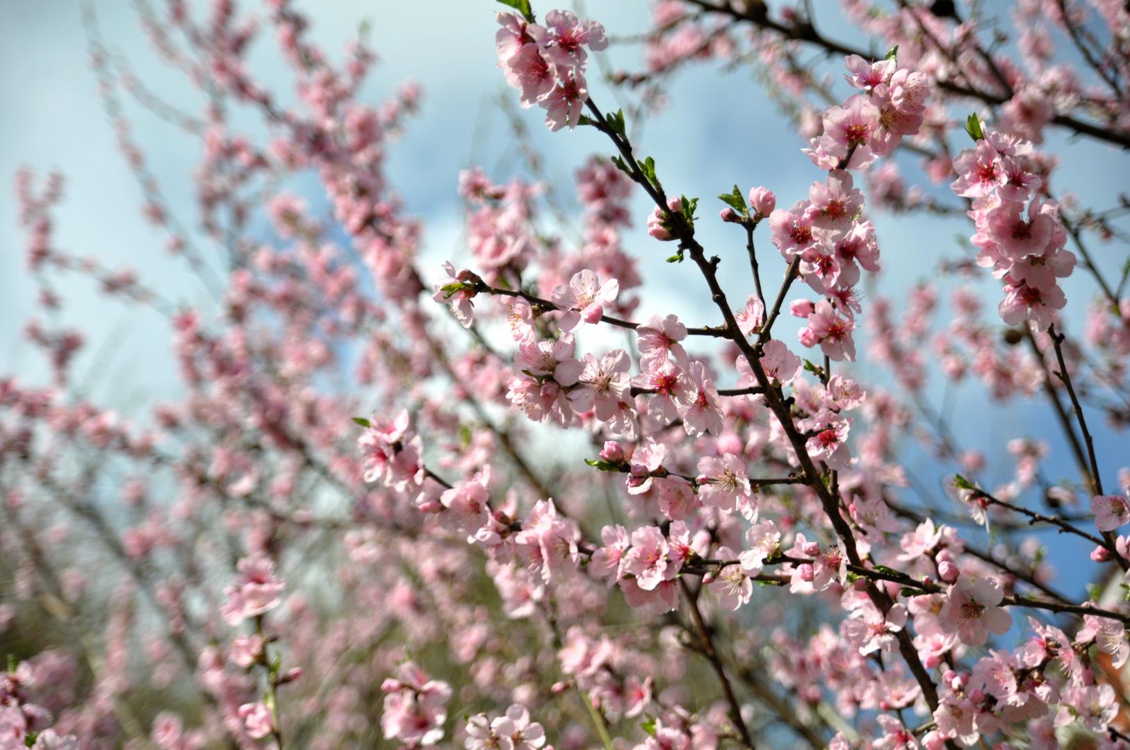 Bergsträßer Frühling