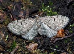 Bergwald-Doldengewächs-Blütenspanner (Eupithecia trisignaria) - Un papillon de nuit.