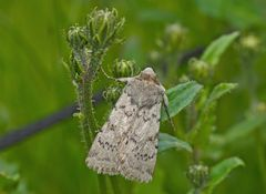 Bergwiesen-Bodeneule (Epipsilia grisescens) - L'Agrotide ignicole.
