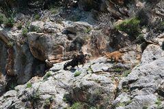 Bergziegen an der Steilküste von Alanya, Türkei