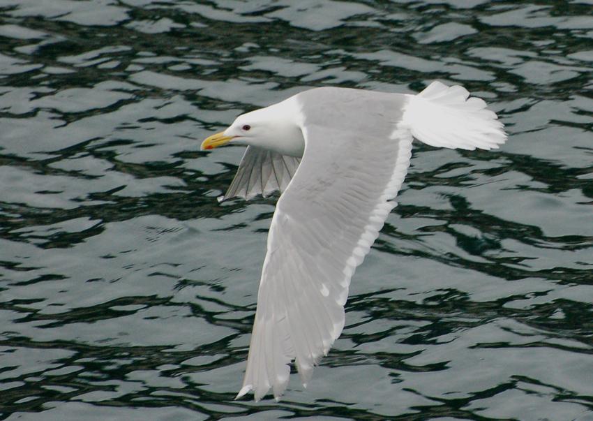 Beringmöwe - Glaucous-winged Gull (Larus glaucescens)