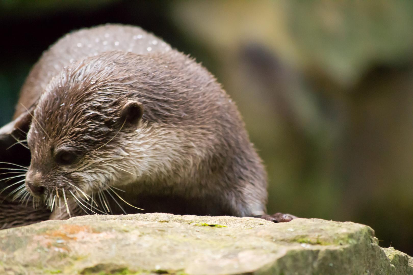 Berliner Otter