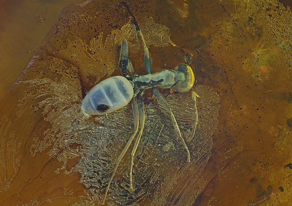 Bernstein Inkluse Ameise mit Parasit, baltisch, BB 12 mm, Aufn. 28, 2016-12-23