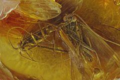 Bernstein Inklusen Köcherfliegen (Trichoptera), baltisch