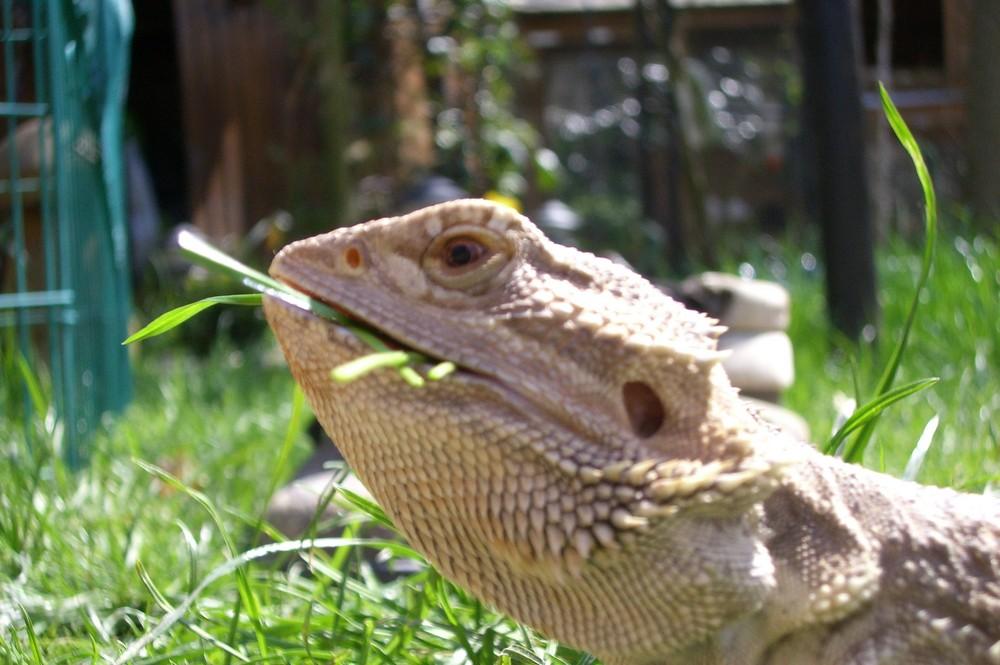 Bert die Bartagame genießt die Sonne und den Grashalm