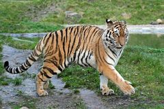 Beschwipster Tiger