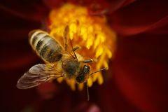 Bestäubte Biene???