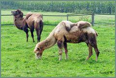 Besuch auf der Kamelfarm in Issum