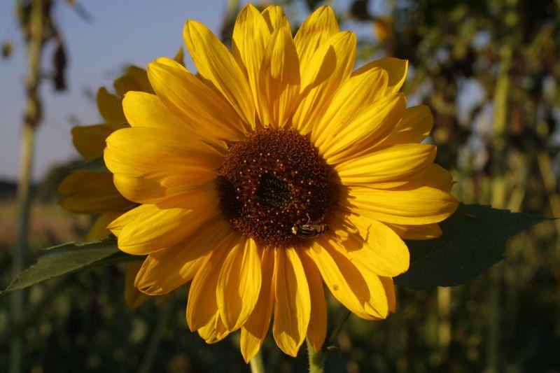 Besuch auf der Sonnenblume