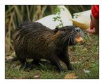 Besuch bei den Nutrias (2) ... / ... visiter les ragondins (2)