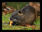Besuch bei den Nutrias (4) ... / ... visiter les ragondins (4)