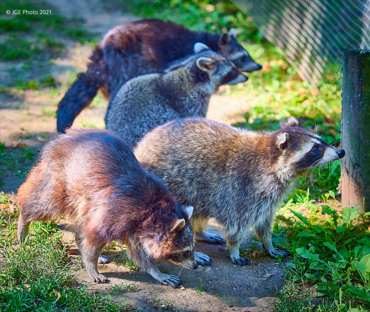 Besuch bei den Waschbären