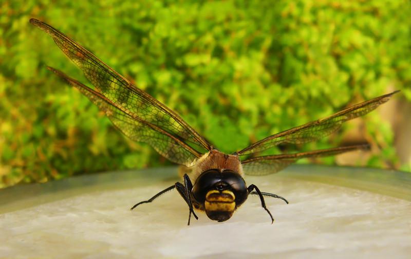 Besuch von einer Libelle
