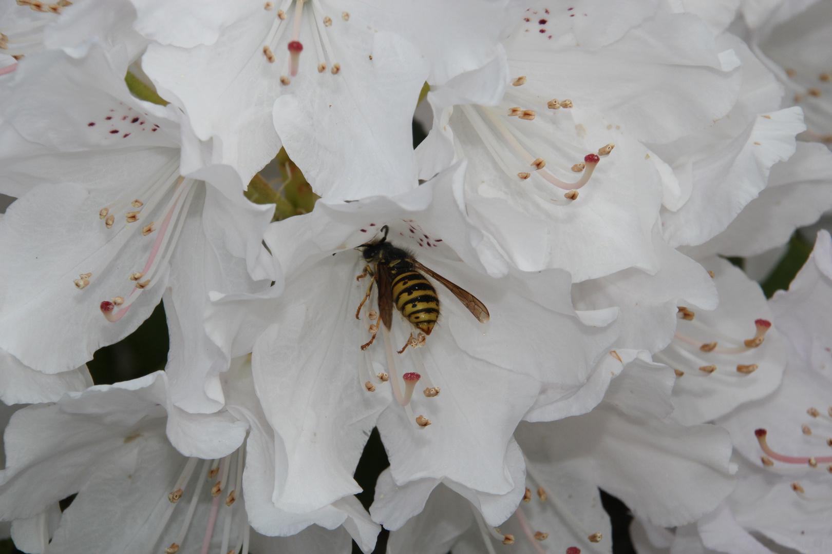 Besuch von einer Wespe