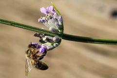 Besucher am Lavendel