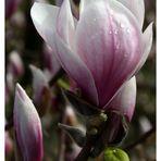 beträufelte Magnolienblüte