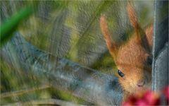 Bettel-Hörnchen ...
