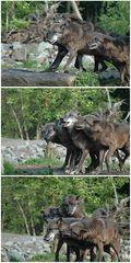 Bettel-Wölfe