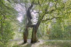 """""""Betteleiche"""", NP Hainich - Naturdenkmal"""