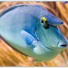 Am fisch kopf beule hat Forum: Krankheiten